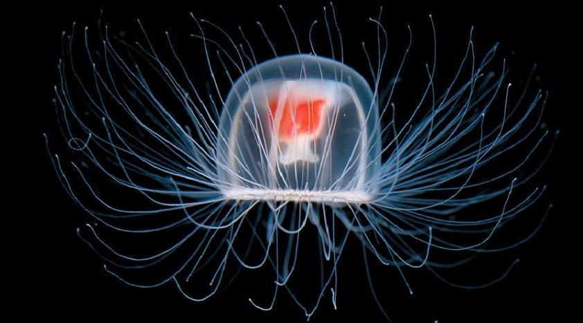 the-immortal-jellyfish